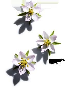 Spergularia