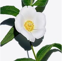 Montpellier Rock-Rose
