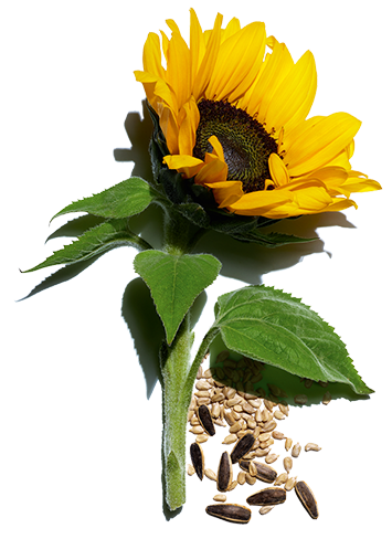 Sunflower and its seeds