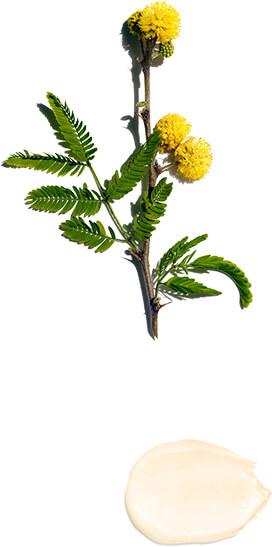 Cassia flower