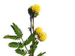 Cassia flower ingredient