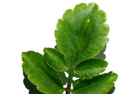 Leaf oflife ingredient