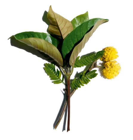 Organic harungana and cassie flower