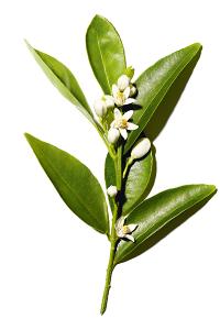 0range blossom